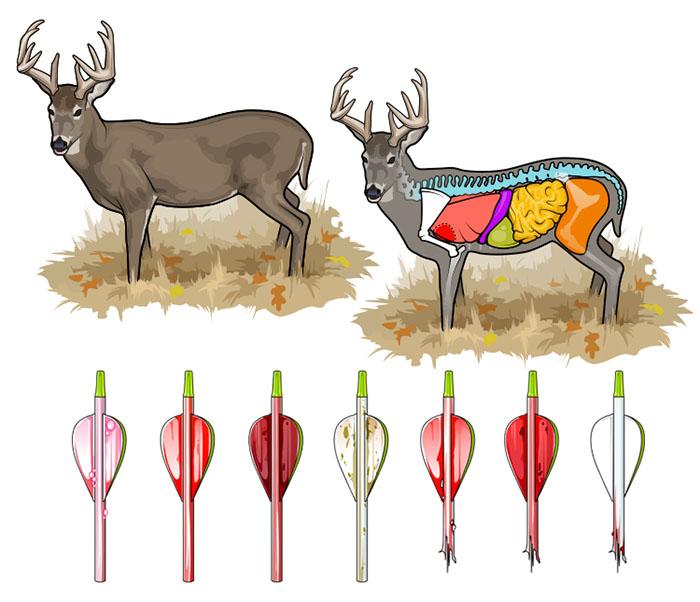 Diagram Of Organs Deer - Circuit Diagram Symbols •